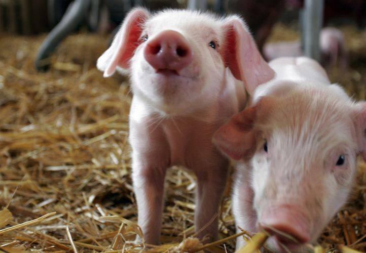 Оспа свиней