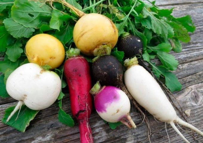 Выращивание черной редьки в открытом грунте: как выбрать сорт в зависимости от региона и каковы особенности  агротехники для этого овоща?