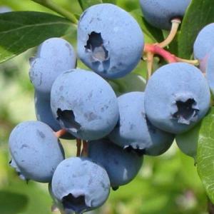 Описание сорта садовой голубики «нортланд»