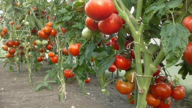 Медная проволока для борьбы с фитофторой на помидорах: отзывы