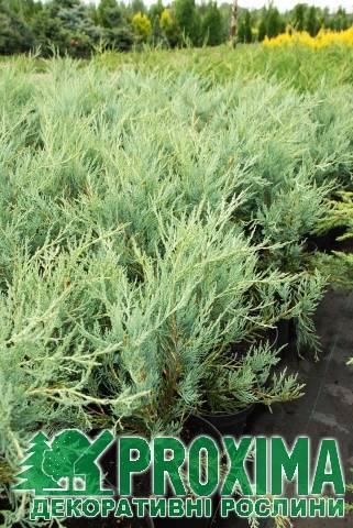 Можжевельник скальный мунглоу: особенности выращивания