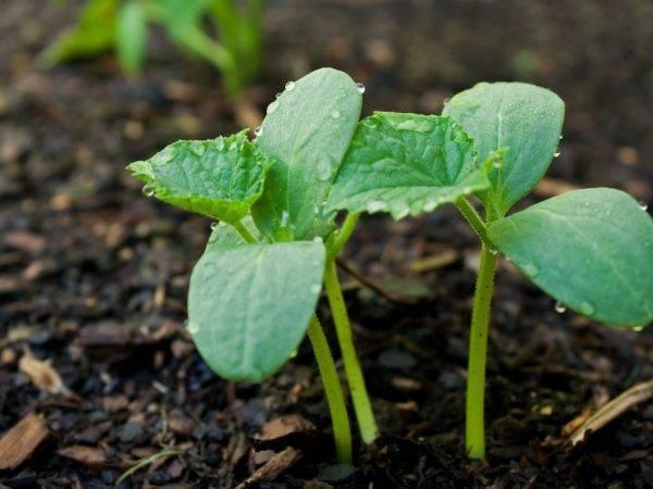 Описание сорта огурца чудо хрустик, особенности выращивания и уход