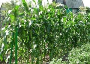 Посадка кукурузы в открытый грунт и правильный уход. болезни кукурузы и лучшие сорта с описанием