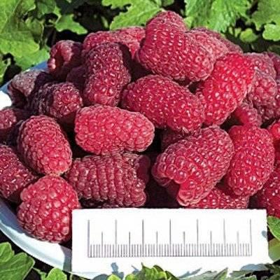 Сорт малины таганка — великанские ягоды на вашем столе!