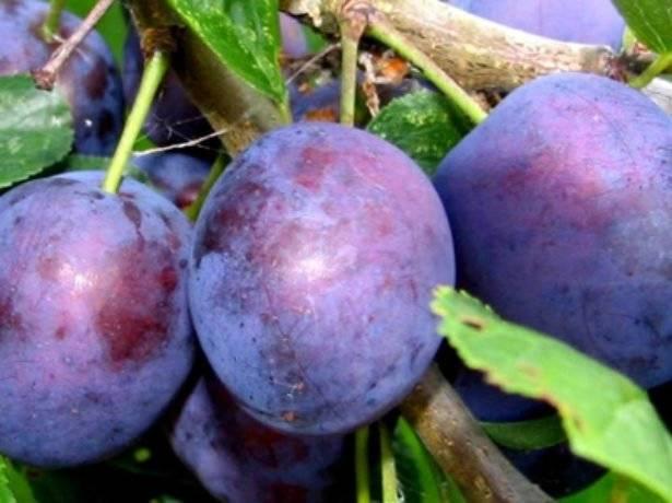 Слива волжская красавица: идеальный выбор для вашего сада