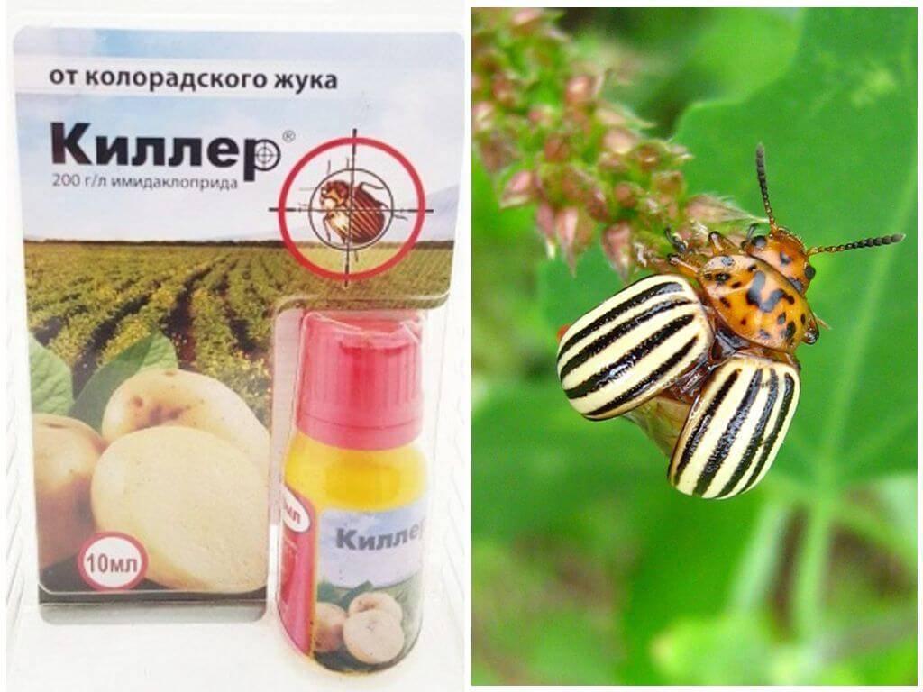 Отрава от колорадского жука командор: как правильно развести и обработать картофель