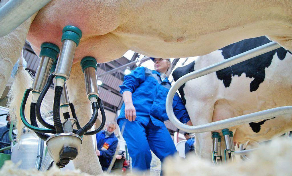 Причины появления бородавок на вымени у коровы, использование народных средств