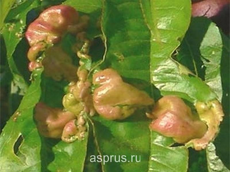 Как избавиться от курчавости листьев персика?