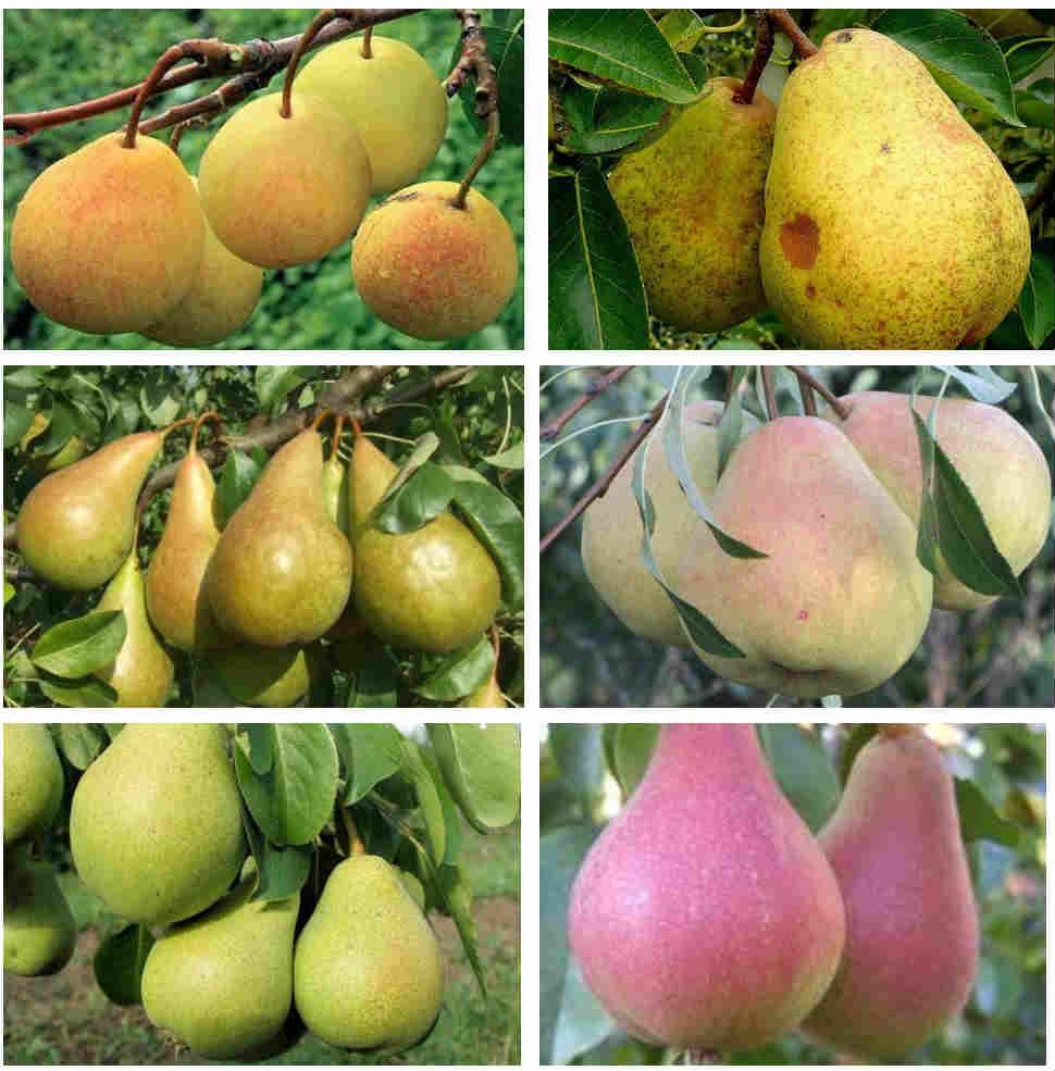 Описание и характеристики груши сорта пакхам, посадка, выращивание и уход