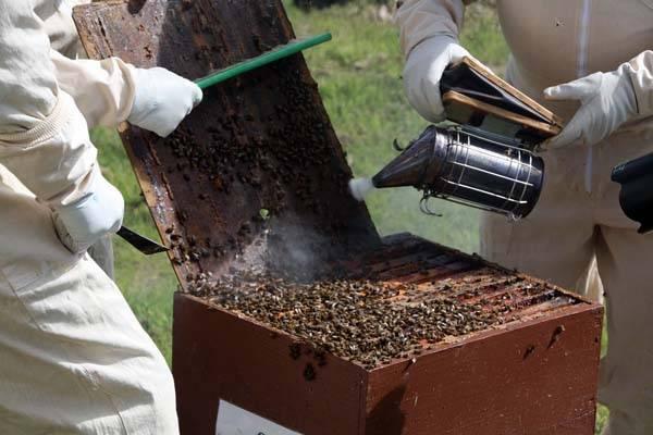Дымарь для пчел — какой выбрать и как пользоваться