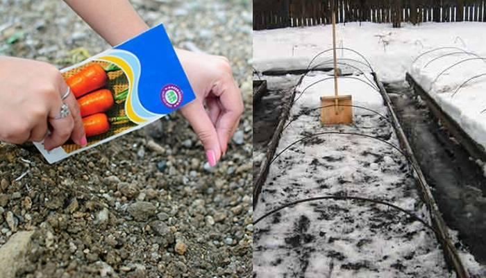 Когда и как сажать морковь весной 2019 в открытый грунт семенами в каждом регионе россии, культуры-предшественники с которыми посадка моркови будет урожайней