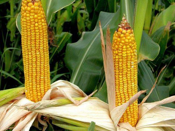 Лучшие сорта кукурузы: характеристика и особенности