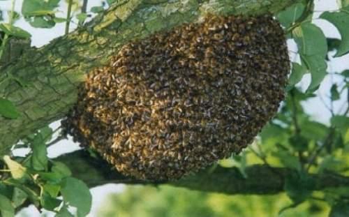 В чем опасность роения пчел и как бороться с этим явлением. известные методы и советы от пчеловодов