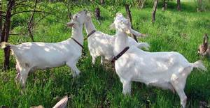 Ламанча – порода с короткими ушами
