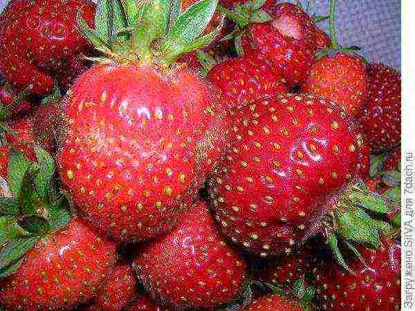 Лучшие сорта клубники для подмосковья - 25 самых сладких, вкусных и урожайных по мнению садоводов