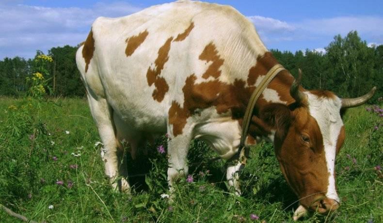 Отек вымени у коров после отела: лечение и профилактика