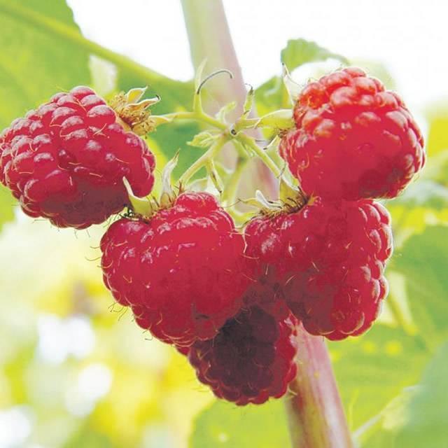 Ремонтантная малина зюгана — два полноценных урожая в один сезон!