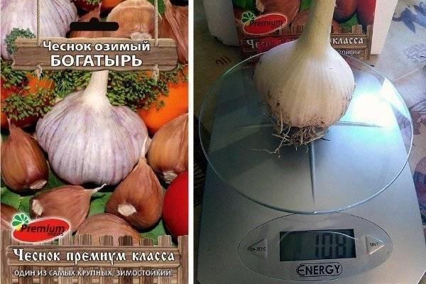 Чеснок для настоящего сибирского здоровья: озимый сорт «сибирский гигант»