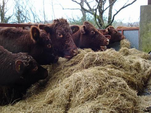 Авитаминоз у коровы симптомы лечение