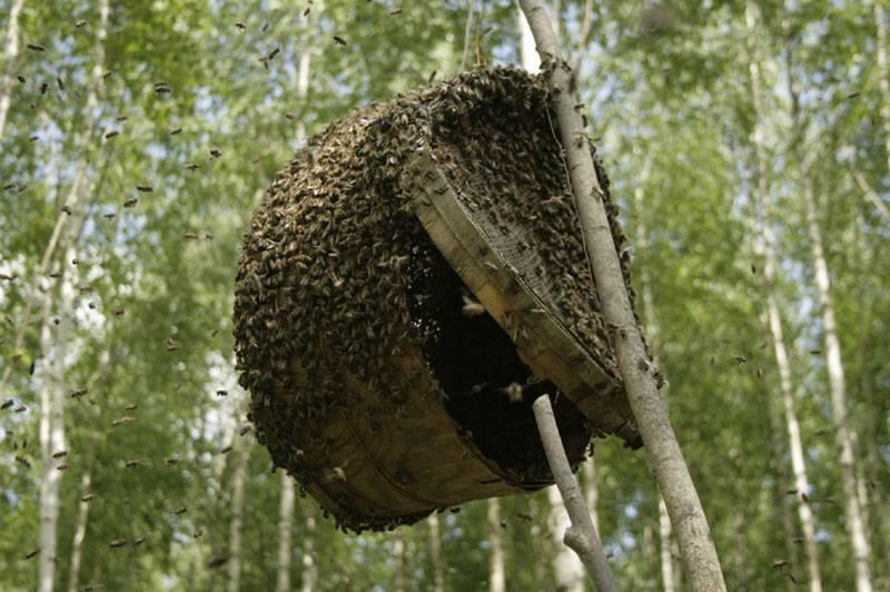 Как можно поймать рой пчел в ловушку новичку, ловля пчелиных роев на приманку