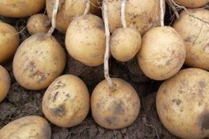 Сорт картофеля «голубизна»: характеристика, описание, урожайность, отзывы и фото