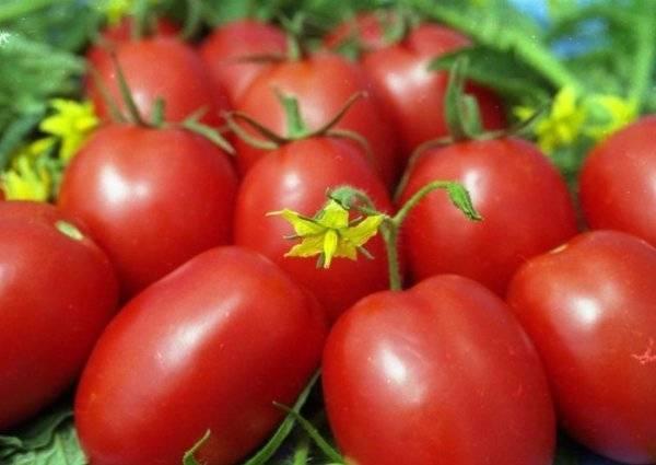 Томат «челнок»: характеристика и описание сорта, фото, урожайность + отзывы