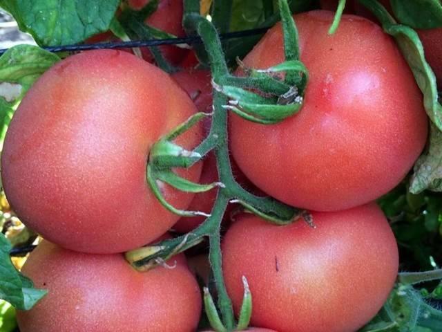 Томат Катя: отзывы, фото, урожайность