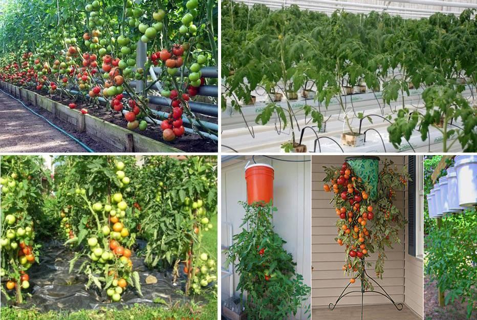 Технология выращивания помидоров в открытом грунте: видео ухода, посадка томатов и секреты агротехники