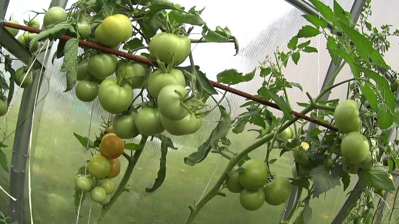Как обработать землю после фитофторы томатов?