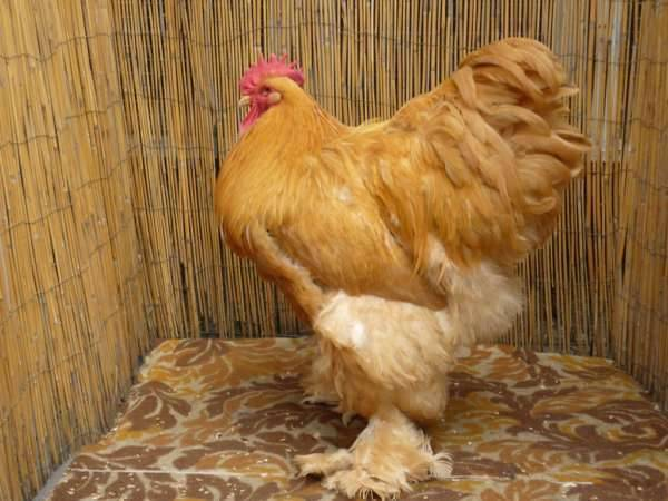 Кохинхин порода кур – описание, содержание, фото и видео