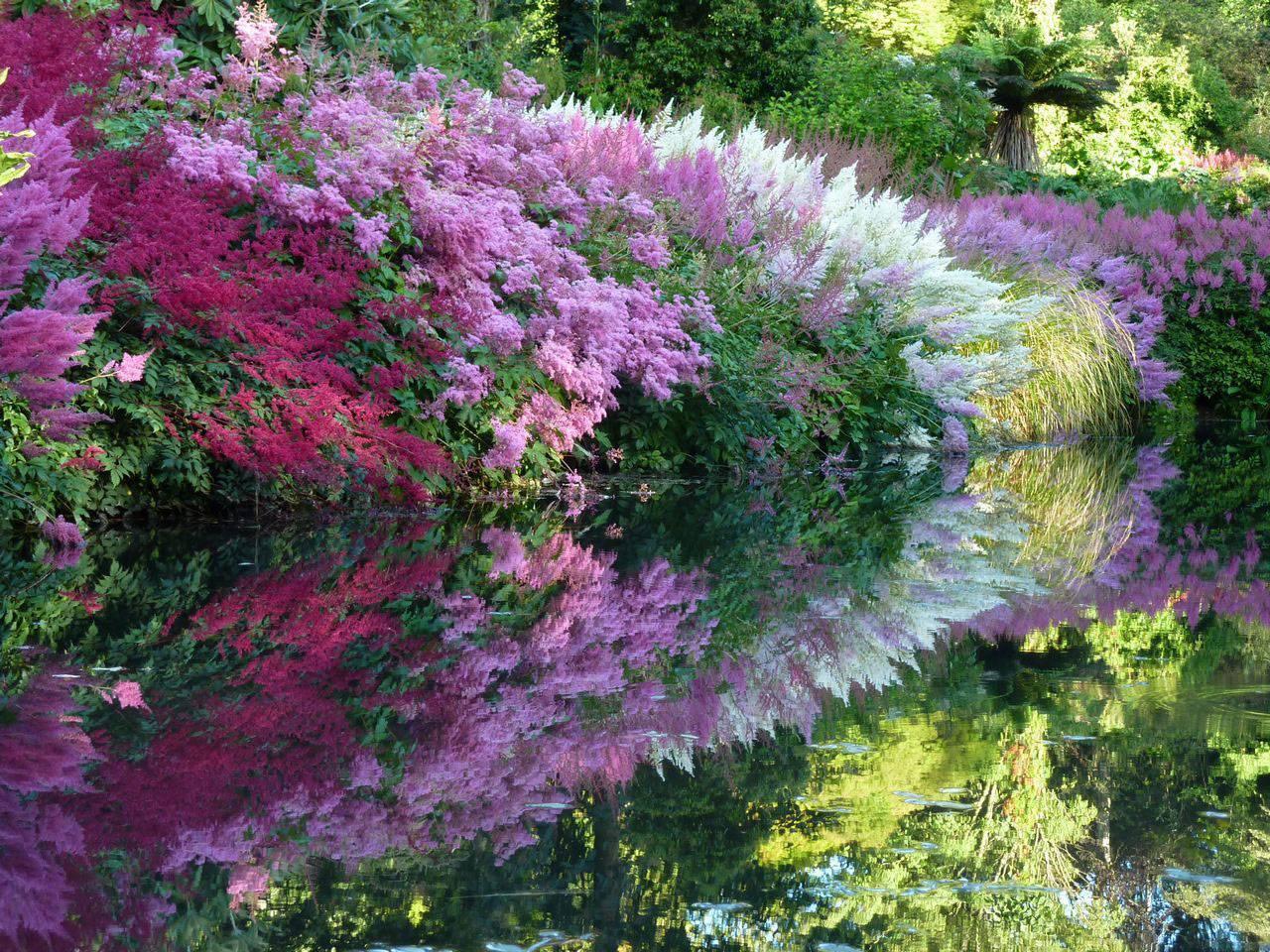 Астильба — посадка и уход в открытом грунте, фото цветов