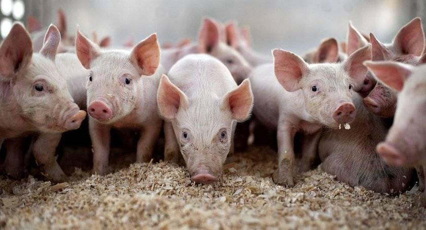 Как определить вес свиньи: несколько способов