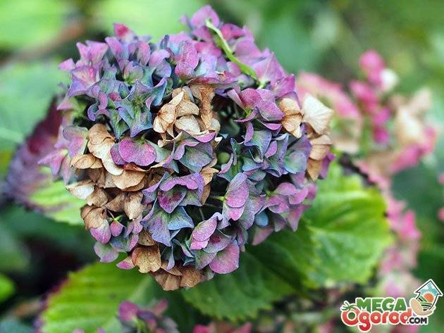 Почва для гортензии — как закислить почву для гортензии