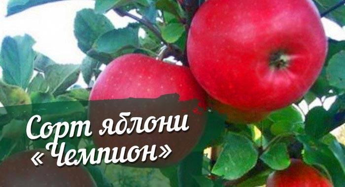 Яблоня «чемпион»: описание сорта и особенности культивирования