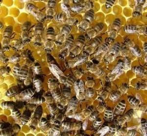 Матка пчелы: как появляется, как выглядит