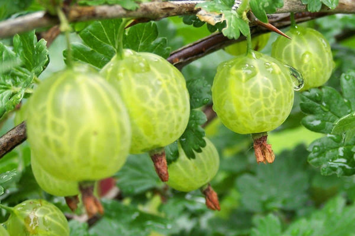 Крыжовник уральский изумруд — удачное приобретение для сада