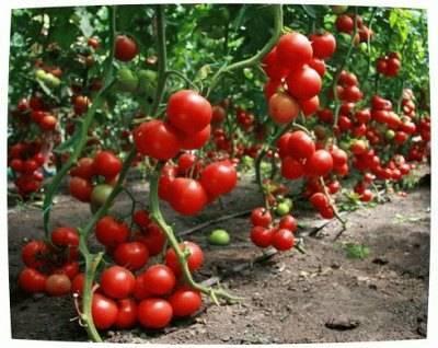 Когда сажать рассаду помидоров: семена, сроки, полив, удобрения. уход за рассадой помидоров в домашних условиях: полив семян, удобрение рассады