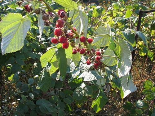Характеритика и описание малины «шапка мономаха»