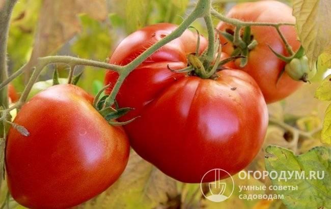 Крупноплодный томат бычье сердце: характеристика сорта, секреты выращивания и борьбы с вредителями