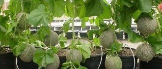 Как посадить и вырастить дыню дома на балконе