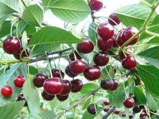 Подкормка вишни весной и летом: чем удобрять для увеличения урожая