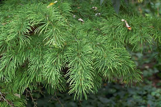 Дерево которое сбрасывает хвою на зиму