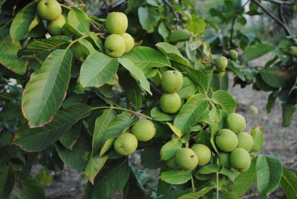 Как пересадить саженец грецкого ореха осенью?
