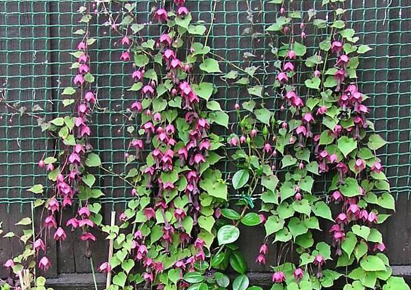 Лучшие вьющиеся растения: 105 фото и видео описание как использовать вьющиеся растения в ландшафтном дизайне