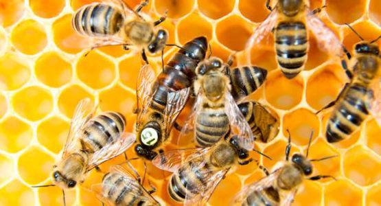 Тихая смена маток на пасеке ' пчелы '