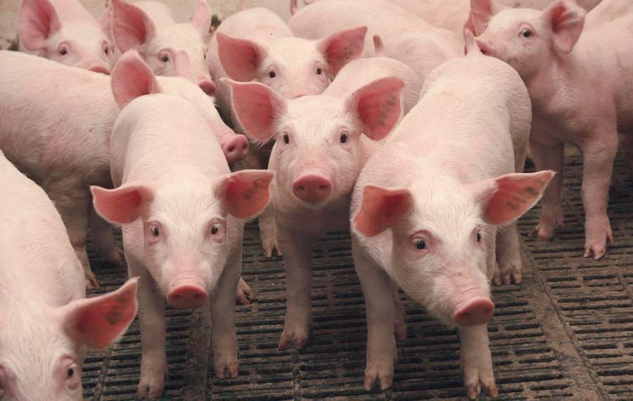 Классическая чума свиней