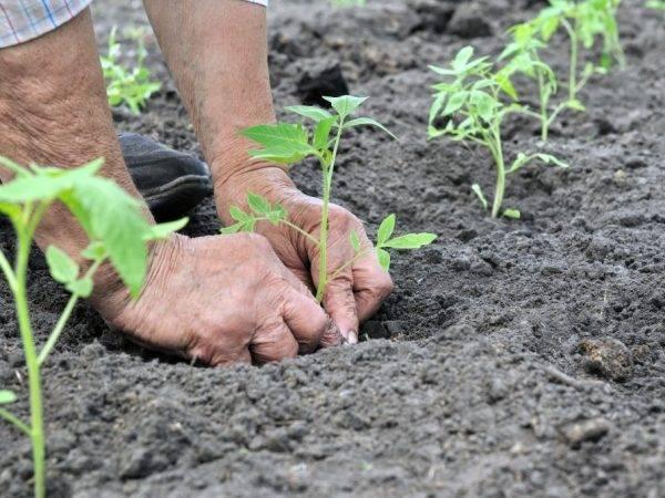 Помидор: посадка и уход в открытом грунте, как вырастить из семян, фото