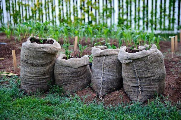 Как вырастить картофель в мешках (сумках)
