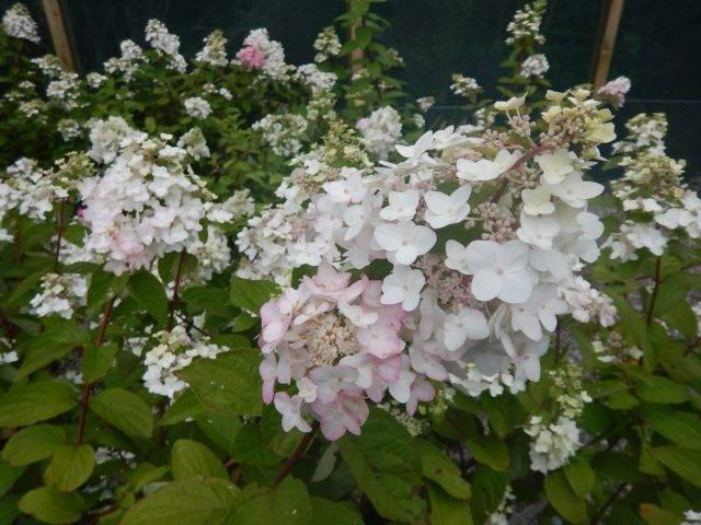 Инвизибл спирит: сорт древовидной гортензии, посадка и уход, выращивание в саду