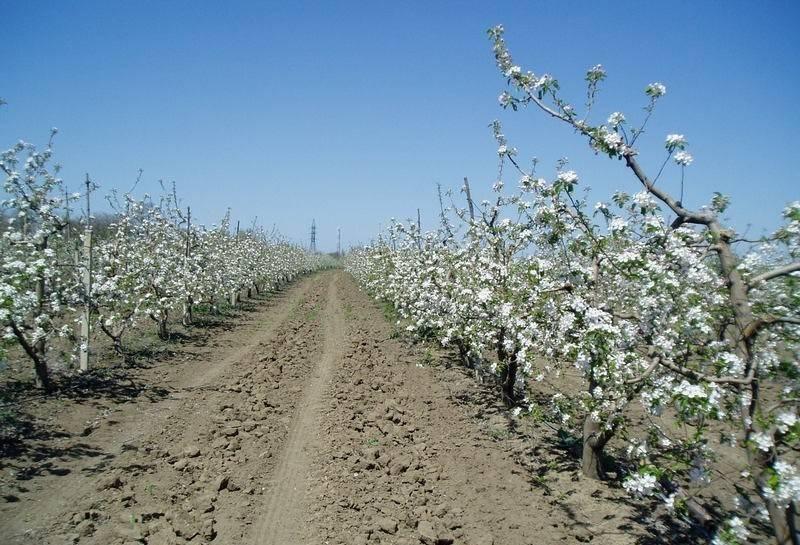 Особенности посадки яблонь в ленинградской области